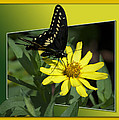 Butterfly Swallowtail 01 16 By 20 by Thomas Woolworth