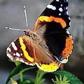 Butterfly Tai Chi On Lantana Luscious Lemonade by Michael Frank Jr