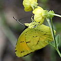 Butterfly - Yellow Sulphur On Yellow by Travis Truelove