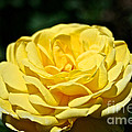 Buttery Rose by Susan Herber