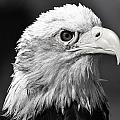 Bw Eagle by Bill Dodsworth