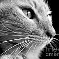 Bw Kitty by Art Dingo