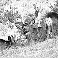 Bw Mule Deer by Earl Nelson