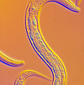 C. Elegans Worm by Sinclair Stammers