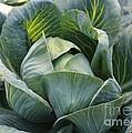 Cabbage In The Vegetable Garden by Carol Groenen