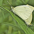 Cabbage White Butterflies 5267 by Michael Peychich