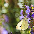 Cabbage White Butterfly by Heidi Smith
