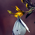 Cabbage White Butterfly by Stephanie Salter