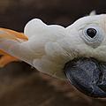 Cacatua Sulphurea Citrinocristata - Citron Crested Cockatoo by Sharon Mau