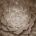 Cactus 18 Sepia by Cassie Marie Photography