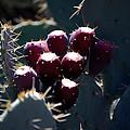 Cactus Bud by Kelly Rader