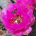 Cactus Flower Buzz by Desert Harmony