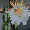 Cactus Flower by Jean Crow