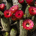 Cactus With Red Flowers by Jim And Emily Bush