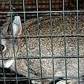 Caged Rabbit by LeeAnn McLaneGoetz McLaneGoetzStudioLLCcom