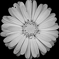 Calendula Flower - Black And White by Laura Melis