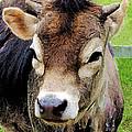 Calf Closeup by Susan Savad