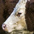 Calf Portrait by Derek Holzapfel