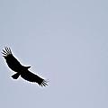 California Condor by Eric Tressler