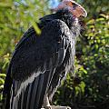 California Condor by Marc Bittan