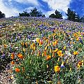 California Poppies And Lupins On A Hill by James Forte