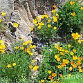California Poppies by Charles Robinson