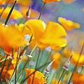 California Poppies by Craig Tuttle