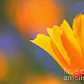 California Poppy by Renee Rushing