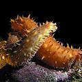 California Sea Cucumber Love by Derek Holzapfel