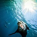 California Sea Lion, La Paz, Mexico by Todd Winner
