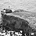 California Sea Lions Black And White La Jolla Shores San Diego  by Sherry  Curry