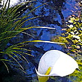 Calla Lily 6 by Pamela Cooper