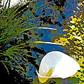 Calla Lily 7 by Pamela Cooper