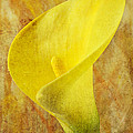 Calla Lily Beauty  by Garry Gay