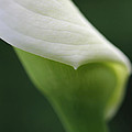 Calla Lily Flower Petal Macro by Jennie Marie Schell