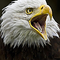Calling Bald Eagle - 4 by Heiko Koehrer-Wagner