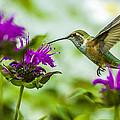 Calliope Hummingbird At Bee Balm by Albert Seger