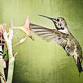 Calliope Hummingbird  by Saija  Lehtonen