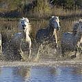 Camargue Horse Equus Caballus Group by Konrad Wothe