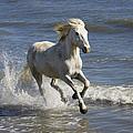 Camargue Horse Equus Caballus Running by Konrad Wothe