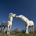 Camargue Horse Equus Caballus Stallions by Konrad Wothe