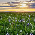Camas Fields by Idaho Scenic Images Linda Lantzy