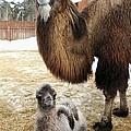 Camel And Colt by Ria Novosti