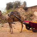 Camel Yoked To A Decorated Cart Meant For Carrying Passengers In India by Ashish Agarwal