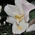 Camellia 18 by Terri Winkler