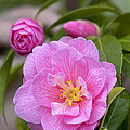Camellia Camellia X Williamsii Donation by VisionsPictures