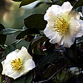 Camellia Nineteen by Ken Frischkorn