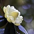 Camellia Seven by Ken Frischkorn