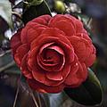 Camellia Twenty-eight  by Ken Frischkorn