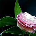 Camellia Twenty-four  by Ken Frischkorn